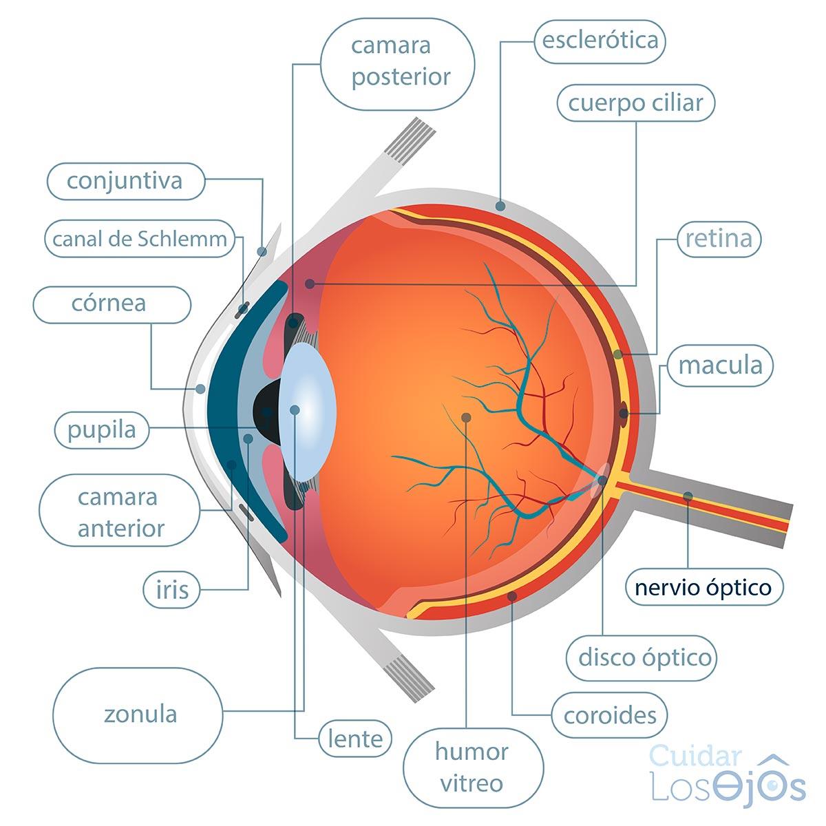 El ojo y sus partes